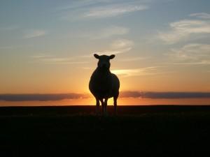 pecora tramonto